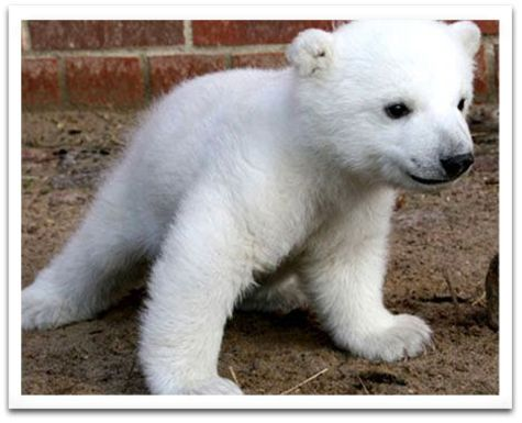 Knut the baby polar bear